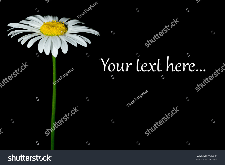 白色的雏菊花孤立在黑色背景空间的文本-背景/素材
