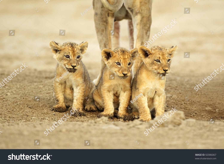 三个可爱的狮子幼崽(豹属狮子座)坐在一排