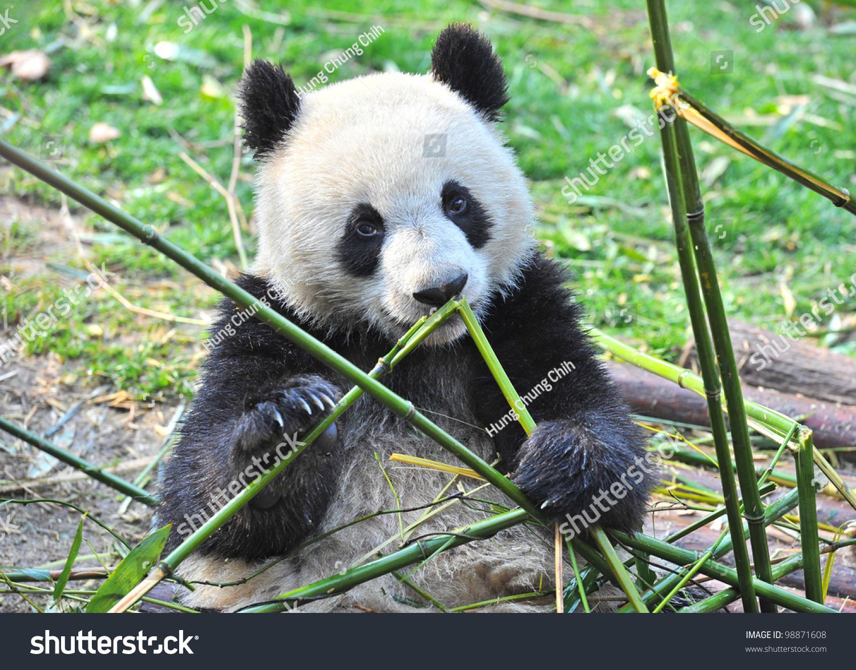 大熊猫吃竹子-动物/野生生物,公园/户外-海洛创意()-.